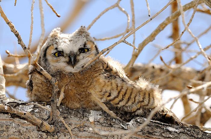 Big Horned Owl