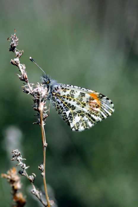 Sara Orange Tip