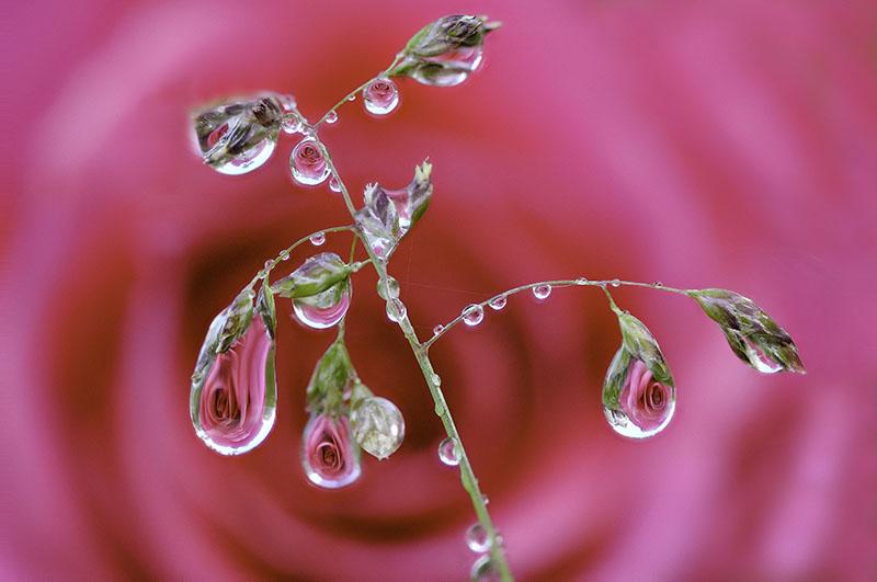 Reflecting Rose