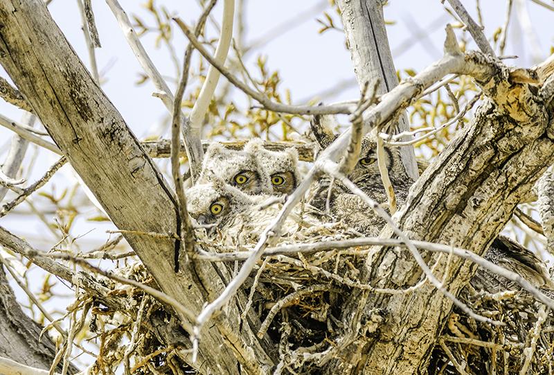 Peek-A-Boo Gerat Horned Owl