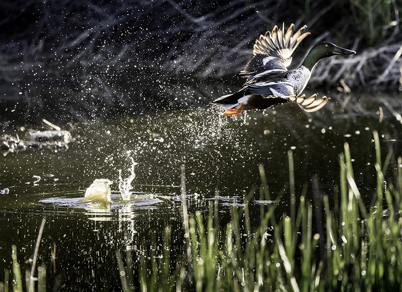 Shovelnose Duck
