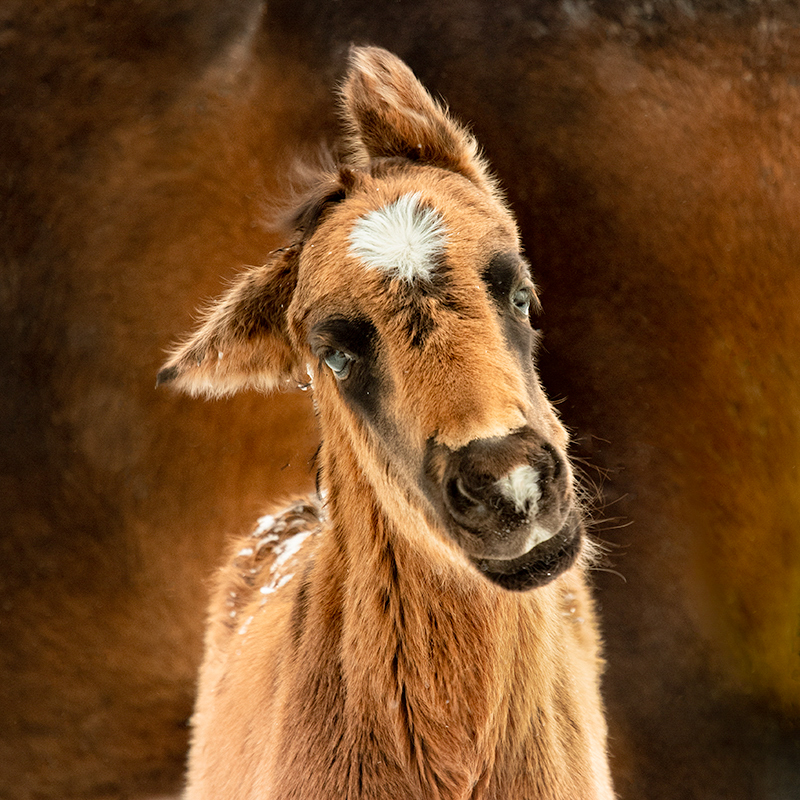 Mustang colt